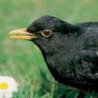 Diferencia entre cuervos y mirlos
