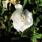 Fertilizante casero para gardenias