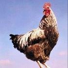 Sistema reproductivo del gallo