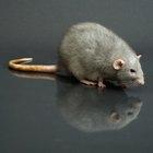 Precauciones tomadas después de la mordedura de una rata