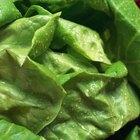 Cómo congelar hojas de lechuga