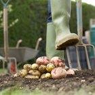 ¿Se pueden sembrar patatas en octubre?
