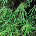 Efectos secundarios de las semillas de cáñamo sin cáscara