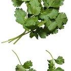 Cómo utilizar cilantro fresco