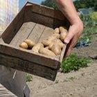 Cuando se las planta, ¿cuánto tiempo tardan las patatas en brotar?