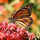 Cómo identificar una mariposa macho y hembra