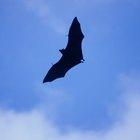 Acerca del murciélago pescador