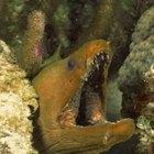 Información para niños sobre anguilas