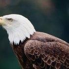 Datos sobre la vista de un águila