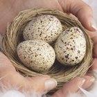 Cómo comprobar si un huevo de canario esta fecundado