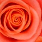 Cómo agregar glicerina al agua de rosas para tratar la piel grasa