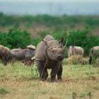 ¿Cuáles son los enemigos del rinoceronte?
