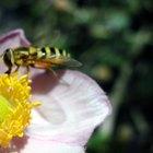 Insectos que son amarillos con franjas negras