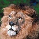 ¿En qué tipo de ecosistema viven los leones?