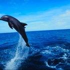 Las diferencias entre  los pez delfín y los delfines mamíferos