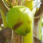 Efectos negativos del agua de coco