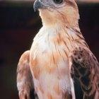 Las diferencias entre halcones y falcones