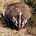 ¿Qué comen los tejones en la vida silvestre?