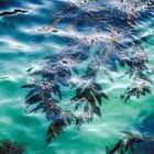 Beneficios para la salud y efectos secundarios de comer algas