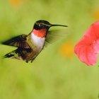 ¿Qué plantas necesito en mi patio para atraer a los colibríes?