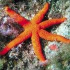 ¿En qué tipo de ambientes vive la estrella de mar?