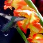 Partes de una flor de gladiolo