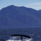 ¿Cuáles son las tres adaptaciones que tienen las ballenas para vivir bajo el agua?