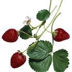 ¿Cuales son los beneficios para la salud de las hojas de las fresa?