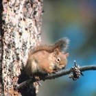 How to Get Rid of Red Squirrels