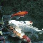 Cómo saber si un pez koi es macho o hembra
