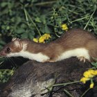 How to Kill Weasels