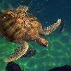 ¿Cuáles son los enemigos de las tortugas marinas?