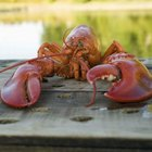 How Often Do Lobsters Shed Their Exoskeletons?