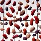 Por qué los experimentos de semilla de frijol no crecen