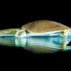 ¿Cuáles son los beneficios de la salud de comer tortugas de caparazón blando?