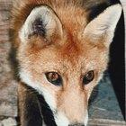 ¿En qué tipos de hábitats viven los zorros?
