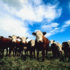 Environmental Pros About Feedlots