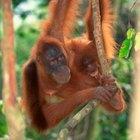 ¿Qué animales tienen huellas dactilares parecidas a las de los humanos?