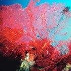 Propiedades mágicas del coral rojo