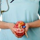 Proceso de formación de la orina en los riñones