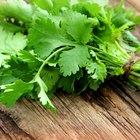 ¿Cuáles son los beneficios del perejil y el cilantro?