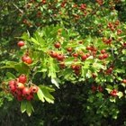 How to Pick Hawthorne Berries