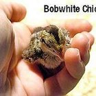 Taking Care of Bobwhite Quail Chicks