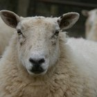 Treat Anemia in Sheep