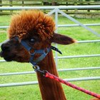 Grants for Starting an Alpaca Business