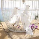 What Is the Meaning of Wedding Doves?