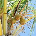 Coconut Oil & Nail Fungus