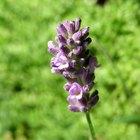 Lavender Oil & Acne