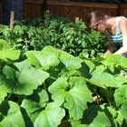 Vegetable Gardening in the Summer
