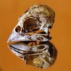 Bird Skull Identification